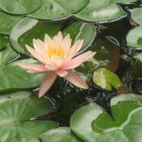 сухумский ботанический сад :: Роза Троянская