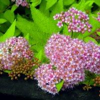 Спирея японская Неон Флеш (Spiraea japonica) Neon Flash. :: Елена