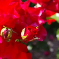 розы :: İsmail Arda arda