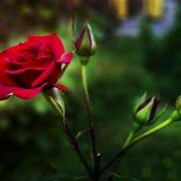Роза - это роза... :: Владимир Кроливец