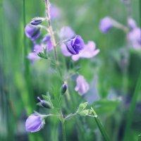 Полевые цветы :: Инна Малявина