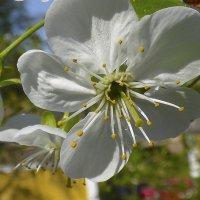 Цветок вишни. :: Валерий Изотов