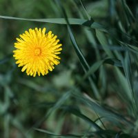 Одуванчик в траве :: Длинный Кот