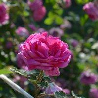 Любимые розы :: Кристина Клишина