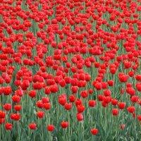 тюльпаны :: Ольга Заметалова