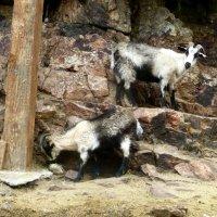 Как-то под вечер коза загрустила, Голову грустно вниз опустила…. :: Юлия Бабитко