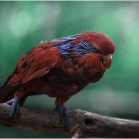 Попугай сидит на ветке , яркой красочной расцветки,иногда кричит по- птичьи... :: Александр Вивчарик
