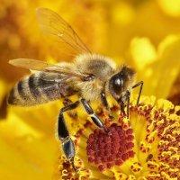 пчелкины заботы :: Андрей