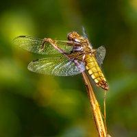 Odonata :: Андрей Дворников