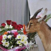 Дарите женщинам цветы , Даже козы ими наслаждаются. :: Наталья Могильникова