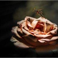 Пролетая над  увядающей розой... :: Александр Вивчарик