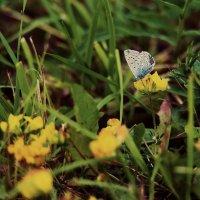 вот такая бабочка :: Ольга Шульгина