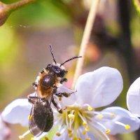 Пчела :: Фотостудия Объективность