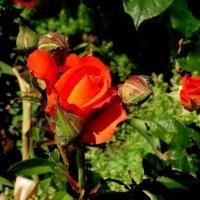 Аленький цветочек... :: Нина Бутко
