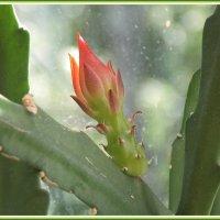 Бутон кактуса :: Domna Kuznechic