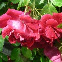 Красные розы :: Игорь Шубовичь