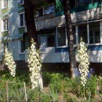 В нашем дворе расцвела юкка :: Нина Корешкова