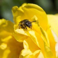 пчела на розе :: Дина Горбачева