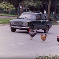 Три курицы идут.. :: Лариса Красноперова