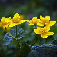 """""""Цветы альпийских лугов"""" :: Светлана"""