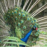 Птицы в парке(Павлин)... :: Тамара (st.tamara)