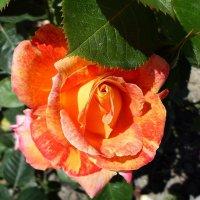 Роза :: Елена Смолова