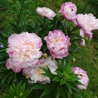 Розовые пионы :: Светлана Лысенко