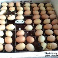 Цыплята вылупляются в инкубатореЦыплята без проблем или Как совместить наседку и инкубатор. :: Наталья (ShadeNataly) Мельник