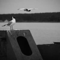 Чайка :: Сергей Куликов