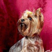 Буся-звёздный ребёнок(собака которая знает себе цену) :: Анжела Пасечник