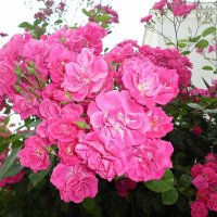 Расцвел великолепный розы куст, его бутоны красотою дышат :: Елена Смолова