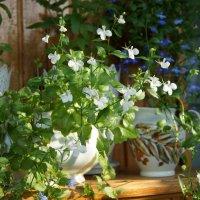 Из жизни цветиков-цветочков :) :: nika555nika Ирина