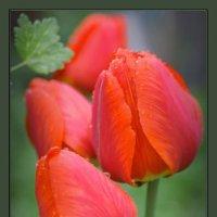 Мои тюльпаны! :: Владимир Шошин
