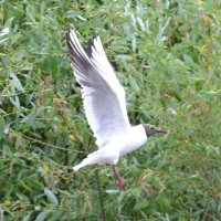 Летящая чайка (в деревне) :: Борис Русаков