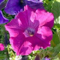 Цветок и ... его сердечно сосудистая система :: Юрий Поляков
