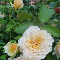 Роза – символ совершенства, мудрости и чистоты. Признано её главенство, средь цветочной пестроты. :: Елена Павлова (Смолова)