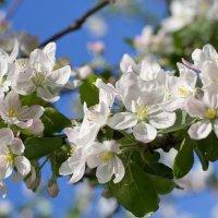 Цветение яблони :: Елена Елена