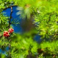 цвет лиственницы :: Сергей Сол
