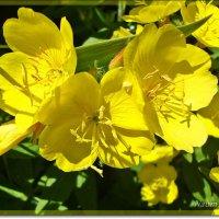 Желтенькие цветочки :: Лидия (naum.lidiya)