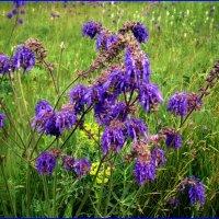 Полевые цветы :: Татьяна Пальчикова