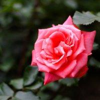 Алая роза.... :: Дина Нестерова