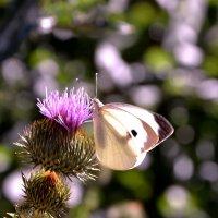 Бодяк и бабочка. :: Raisa Ivanova