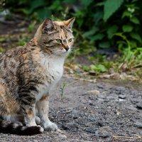 Кошка русская трехцветная. :: —- —-