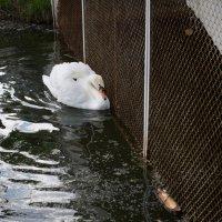 одинокий лебедь :: Астарта Драгнил