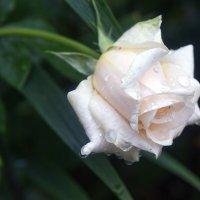 Под дождём поникла роза. :: Татьяна Калинкина