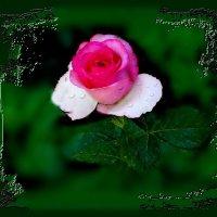 За цветущею розой колючею, притаилась судьба неуклюжая. :: Людмила Богданова (Скачко)