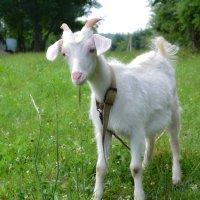 Идет коза рогатая... :: Петр Заровнев