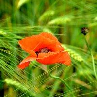 Красные маки в поле зеленом... :: Ольга Голубева