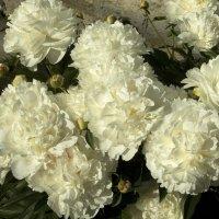 Невесты :: Александр Петров