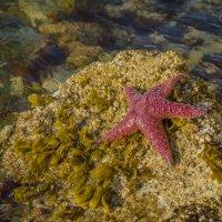 Тихоокеанская звезда. :: Тамара Листопад